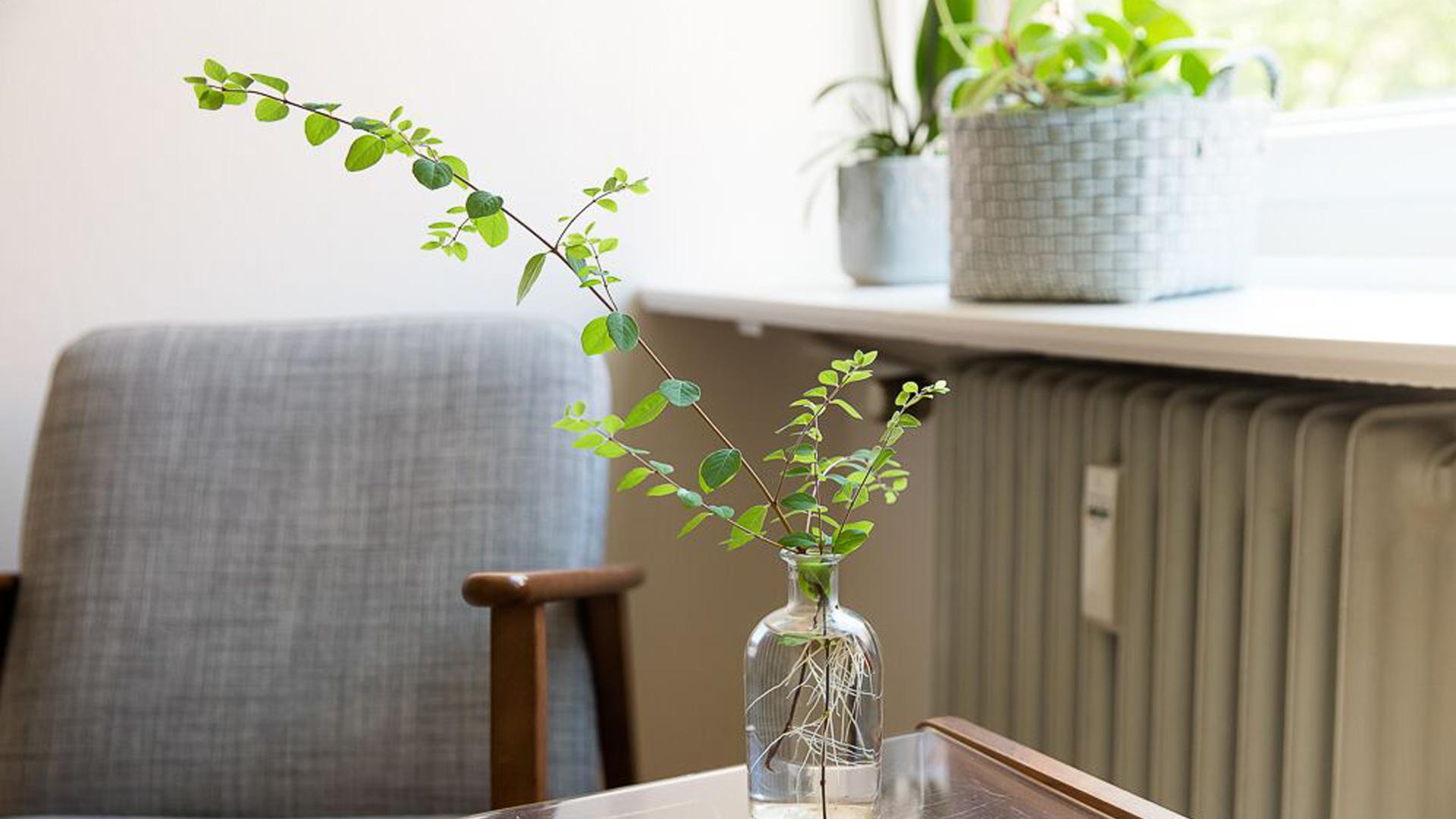 Eine Grünpflanze auf einem kleinen Beistelltisch vor einer Fensterbank auf der mehr Pflanzen stehen. Im unscharfen Hintergrund steht ein kleiner Sessel neben einer Heizung.